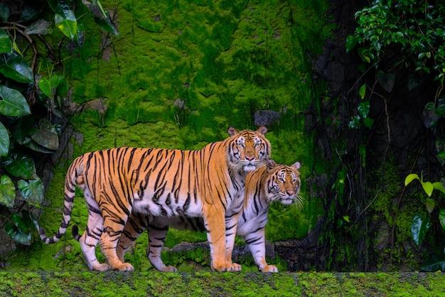 Beau tigre du bengale tigre vert dans la forêt montre la nature.
