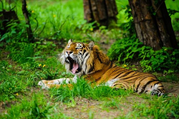 Beau tigre sur l'herbe verte
