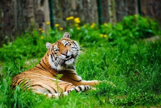 Beau tigre, printemps