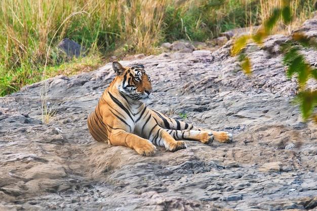 Beau tigre royal du bengale se reposant dans le parc national de ranthambore, rajasthan, inde