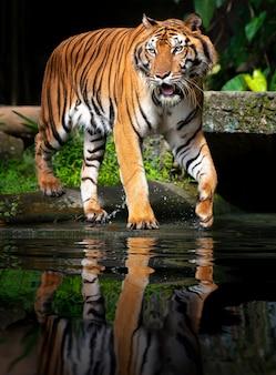 Beau tigre de sumatra à l'affût