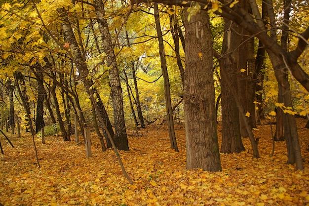 Beau tir d'une forêt avec des arbres nus et les feuilles d'automne jaunes sur le terrain en russie