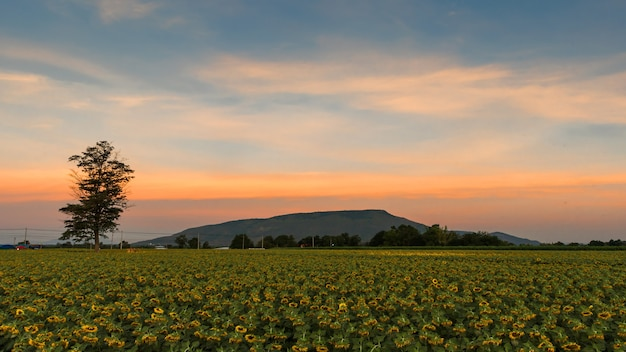 Beau tournesol jaune dans le domaine contre le ciel bleu avec des nuages blancs