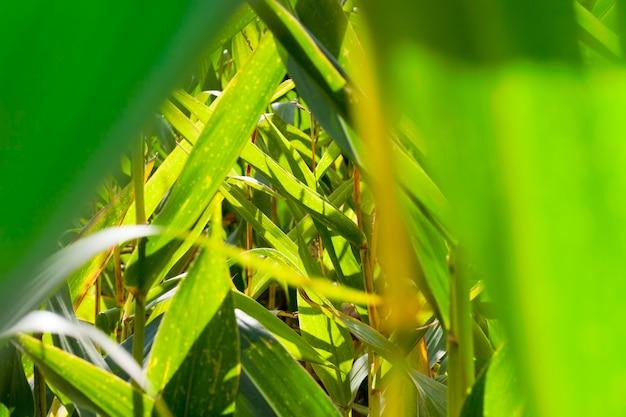 Beau vert avec des taches jaunes de feuillage de maïs avant la récolte et la maturation