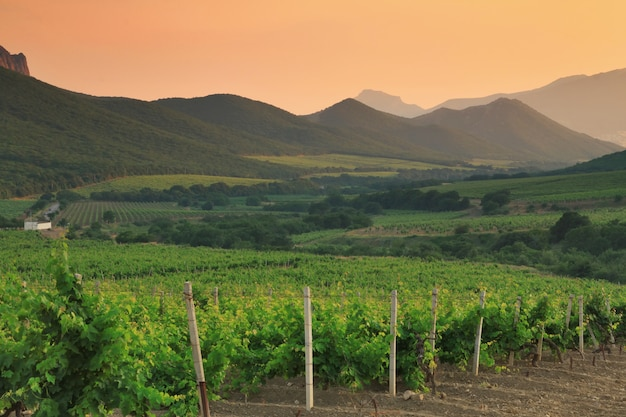 Beau vignoble dans la vallée de montagne au coucher du soleil.