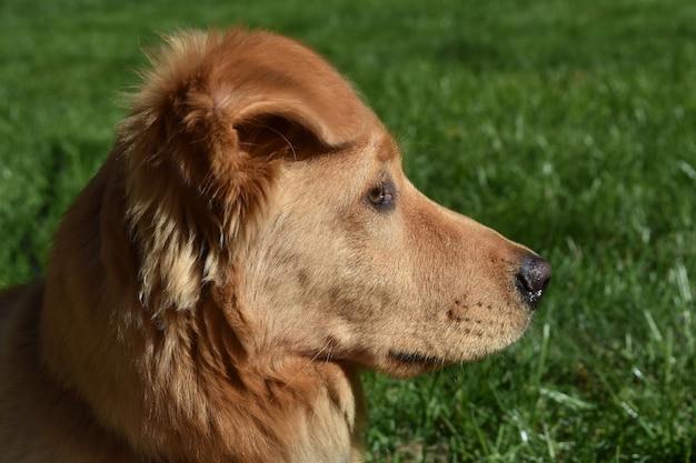 Beau visage d'un petit chien canard rouge se reposant dans l'herbe.