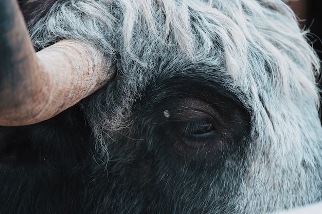Beau yak noir sur la ferme de fond