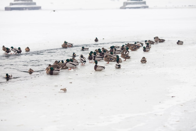 Beaucoup de beaux canards sur la rivière gelée en hiver