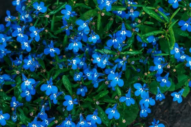 Beaucoup de belles petites fleurs cyan mouillées de gros plan lobélie