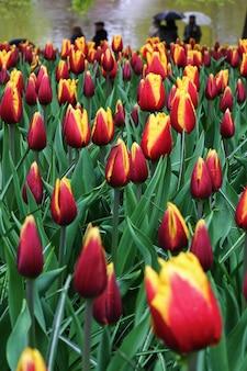 Beaucoup de belles tulipes au jardin.