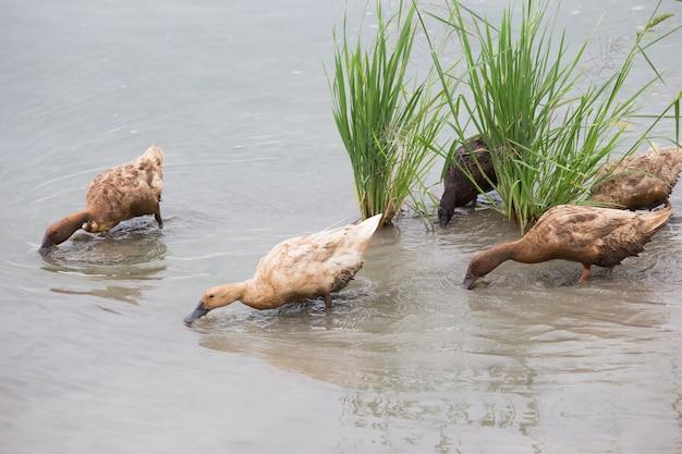 Beaucoup de canards cherchent de l'eau dans l'eau.