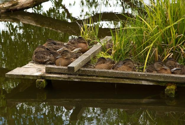 Beaucoup de canards sauvages bruns cultivés qui dorment sur un petit pont en bois au-dessus de l'eau
