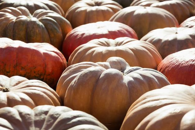 Beaucoup de citrouille. modèle d'automne. marché des fermiers.
