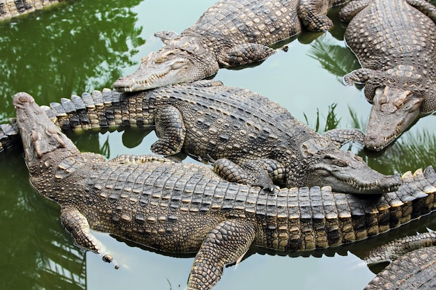 Beaucoup de crocodiles