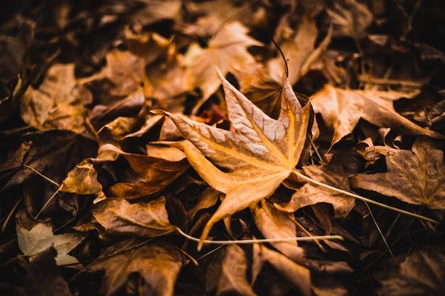 Beaucoup de feuilles d'érable sur le terrain