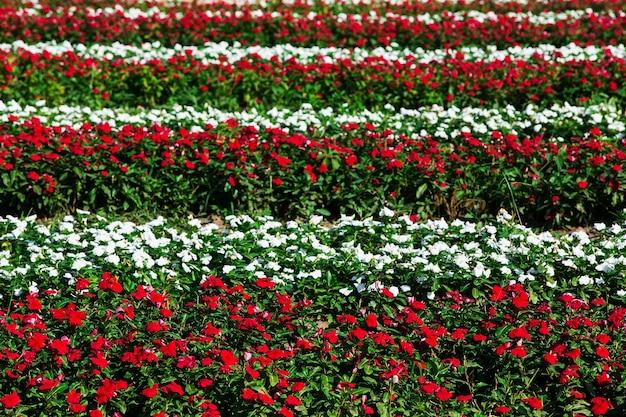 Beaucoup de fleurs de catharanthus roseus