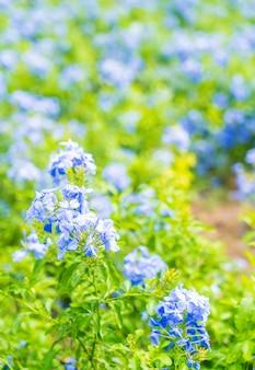 Beaucoup de fleurs d'hortensias bleus dans le jardin