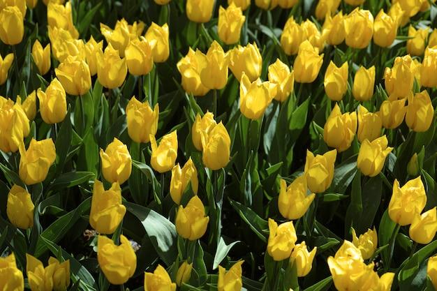 Beaucoup de fleurs jaunes