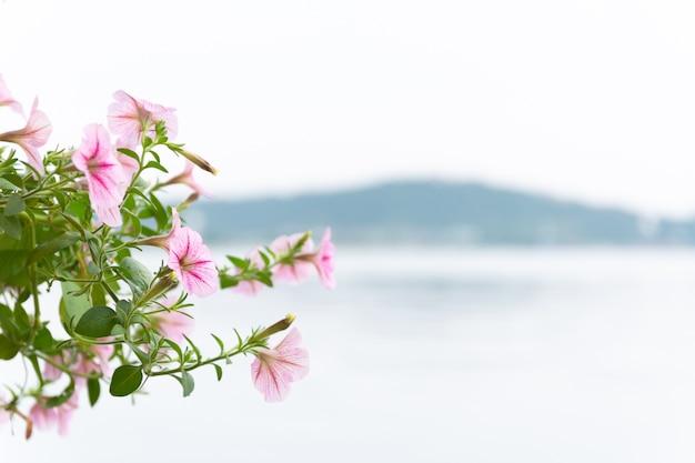Beaucoup de fleurs roses s'épanouissent, le fond flou est la mer et les montagnes.
