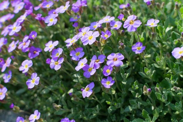Beaucoup de fleurs violettes d'aubrieta deltoidea ou aubretia