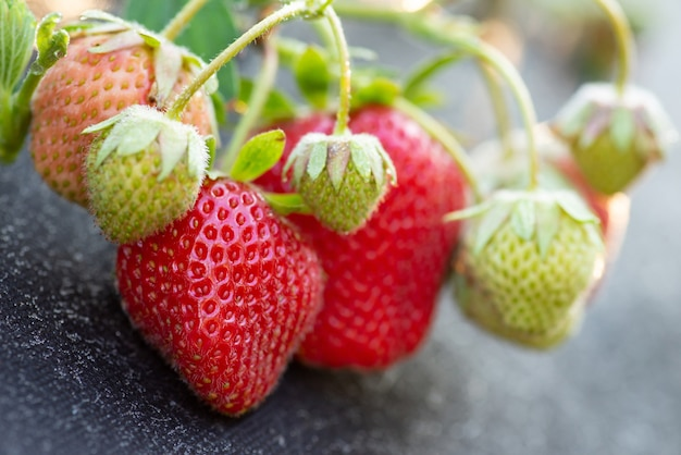 Beaucoup de fraises mûres et non mûres à la ferme
