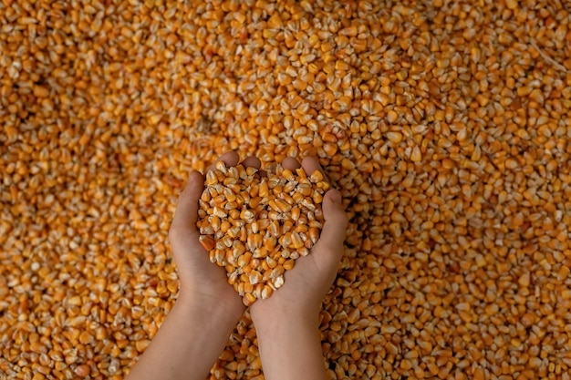 Beaucoup de grains de maïs dispersés, les mains tenant le maïs par poignées.