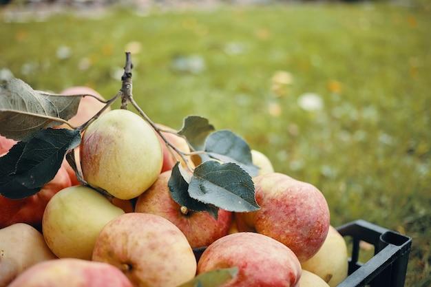 Beaucoup de grosses pommes vertes et rouges viennent d'être fraîchement cueillies sur un pommier dans le jardin d'automne. fruits frais mûrs contre l'herbe verte floue avec copyspace pour votre texte ou informations publicitaires