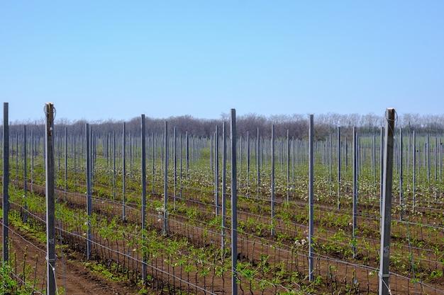Beaucoup de jeunes plants de pommiers en fleurs sur une plantation moderne dans une entreprise agricole de printemps