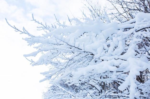 Beaucoup de neige duveteuse sur les branches des arbres. fond d'hiver.