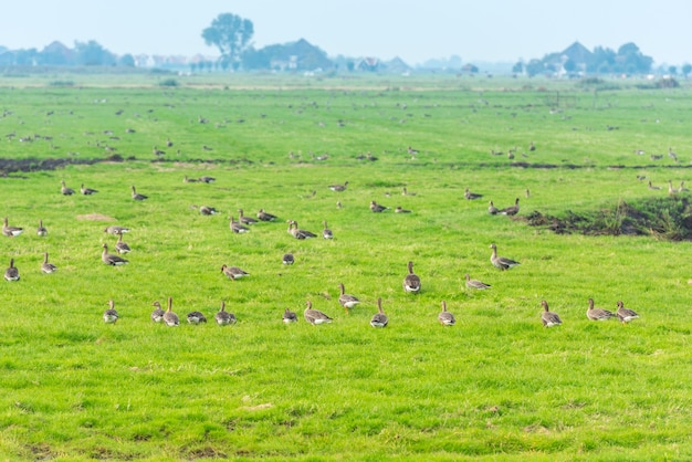Beaucoup d'oies sauvages à la recherche de nourriture sur le pré aux pays-bas