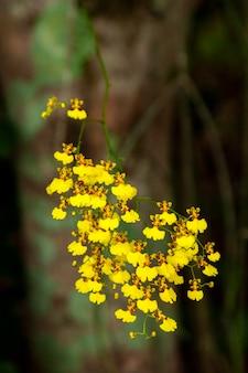 Beaucoup de petites fleurs d'orchidées oncidium jaunes - or orange nature magnifique