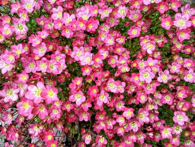Beaucoup de petites fleurs roses saxifraga saxifraga rose petites fleurs violettes