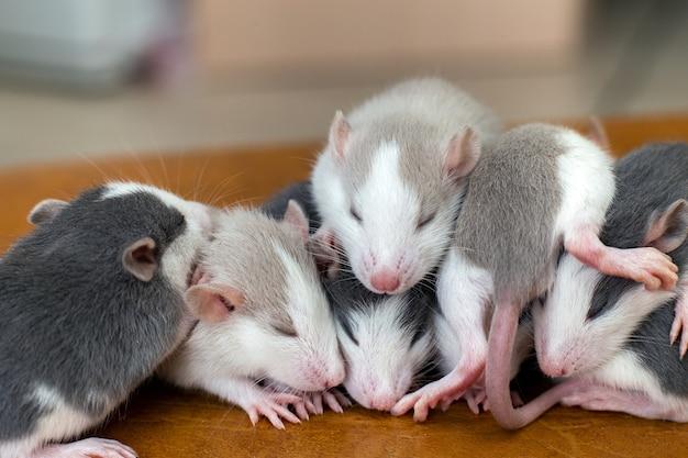 Beaucoup de petits bébés rats rigolos se réchauffant les uns sur les autres.