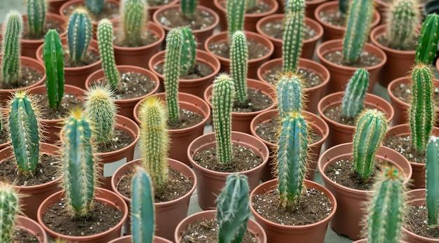 Beaucoup de petits cactus en pot sur le comptoir du magasin