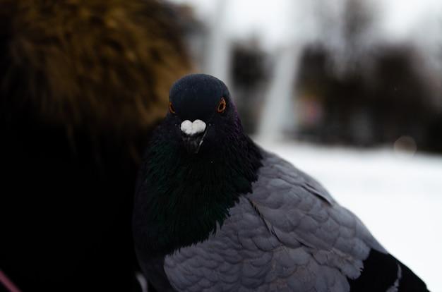 Beaucoup de pigeons. pigeons en groupe et un à la fois. nourrir les pigeons. oiseaux en hiver. macro de pigeon, patte rouge, patte de pigeon. un homme tient une colombe sur sa main. oiseau mangeant avec la main
