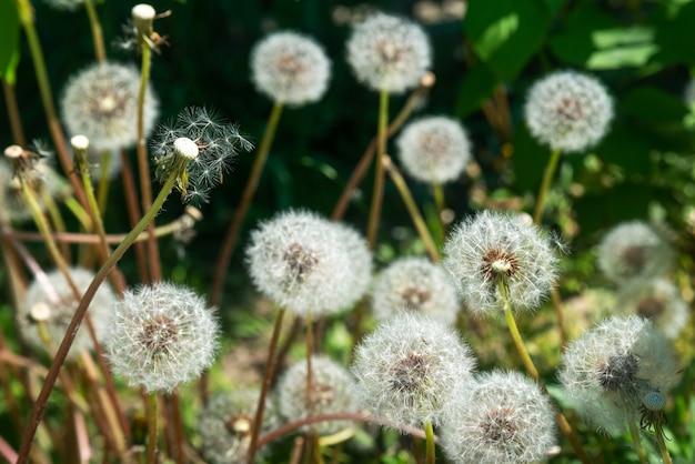 Beaucoup de pissenlits moelleux mûrs dans le jardin par une journée ensoleillée au printemps