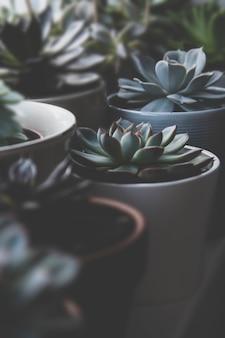 Beaucoup de plantes succulentes, photo sombre, rosette succulente echeveria tonique.
