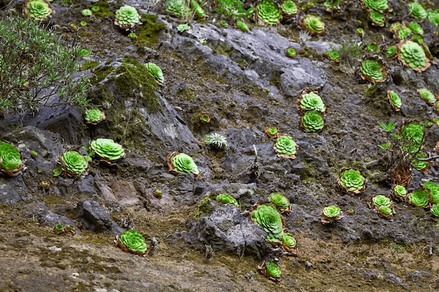 Beaucoup de plantes succulentes poussent à madère au portugal