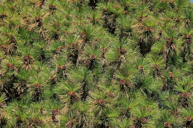 Beaucoup de pommes de pin accrochées sur un pin dans la lumière du soleil d'automne d'el calafate, patagonie, argentine