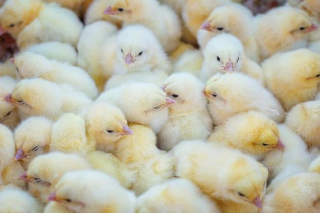 Beaucoup de poussins jaunes, ferme avicole