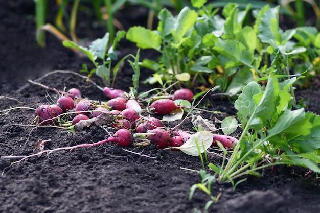 Beaucoup de radis sales sur le sol. photographie horizontale