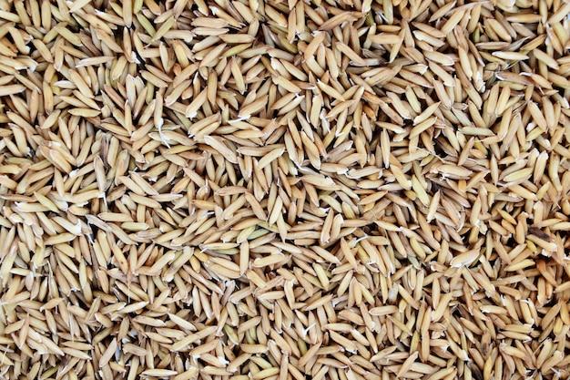Beaucoup de semences de riz et de petites racines prêtes à être plantées dans une rizière par un agriculteur