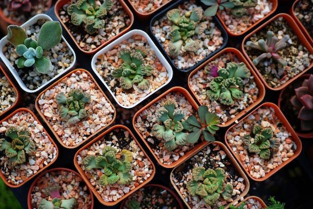 Beaucoup de succulentes en pots