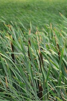 Beaucoup de tiges de roseaux verts. anches incomparables à longues tiges