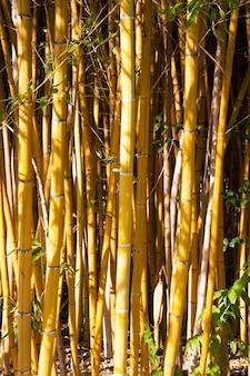 La Beauté Du Bambou Doré Avec Des Tiges Dorées Et Des Feuilles Vertes. Populaire Pour Décorer Le Jardin Car C'est Un Bambou Doré Et Beau Jaune Look Plus Insolite Que Le Bambou Typique. Photo Premium