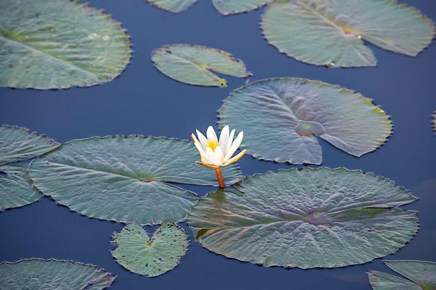 La beauté du lotus blanc bloom dans les étangs