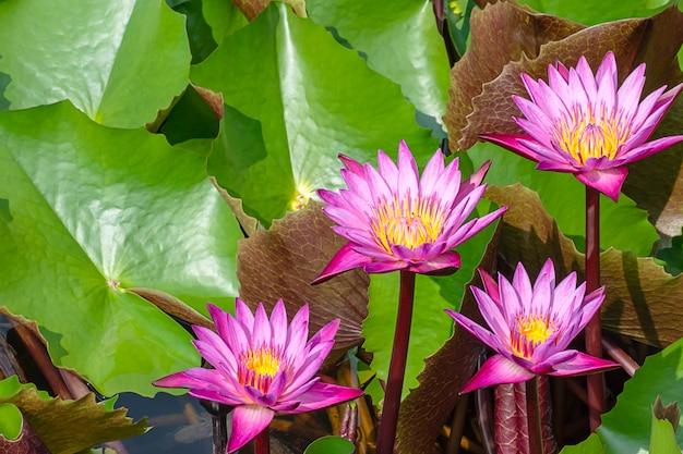 La beauté du lotus rose dans les étangs