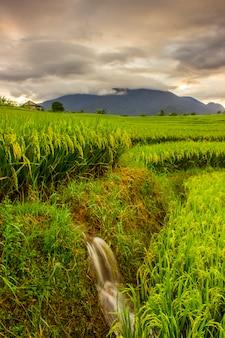 La beauté du riz le matin avec des couleurs de jaunissement et de gunug et de beaux nuages