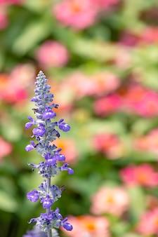 La beauté des fleurs violettes ou lavandula angustifolia dans le jardin