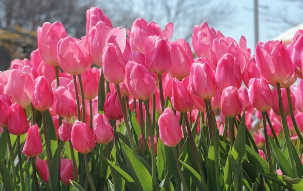 Beauté fraîcheur naturelle douce tulipe rose fond de terre de champ de fleurs.
